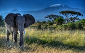 Picture animal, Africa, trunk, nature, trees, Elephant, tusks, ears, grass