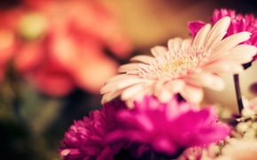 Picture macro, flowers, nature, stems, focus, petals, buds, flowers, gerbera