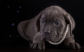 Picture necklace, puppy, breed, cane Corso