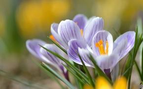 Picture macro, spring, petals, crocuses