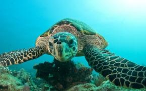 Wallpaper sea, the ocean, turtle, head