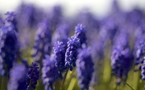 Picture macro, focus, blue, Muscari