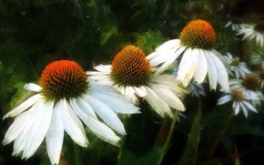 Picture flowers, chamomile, flowers, daisies