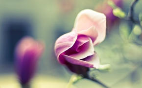 Picture flower, photo, Wallpaper, tenderness, petals, blur, flowering, picture