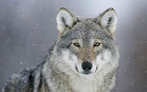 Picture look, snow, wolf, predator