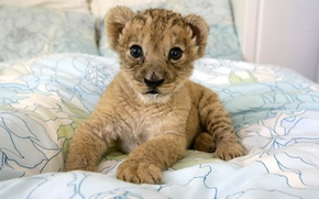 Picture kitty, predator, baby, wild cats, cub, lion
