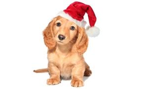 Picture red, holiday, new year, dog, puppy, white background, Wallpaper from lolita777, the Santa hat