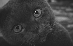 Picture eyes, cat, look, macro, photo, grey, background, pupils, British, Kote, British