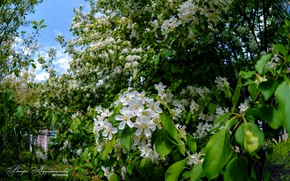 Picture spring, Apple orchard, the Apple trees in bloom