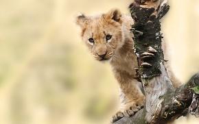 Picture animal, predator, snag, cub, lion