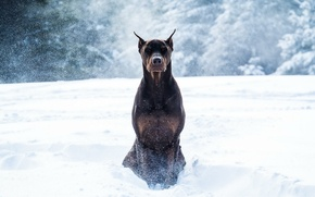 Picture winter, snow, dog, Doberman