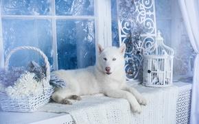 Picture dog, white, husky