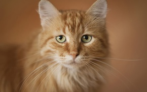Wallpaper portrait, red, cat