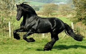 Wallpaper jump, gallop, frieze, black, Horse