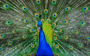 Wallpaper bird, feathers, tail, peacock