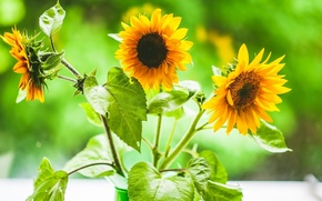 Picture flowers, sunflower, trio, suns