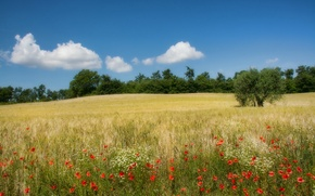 Picture field, trees, flowers, Maki, Italy, Campagna