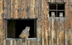 Picture owl, window, the barn