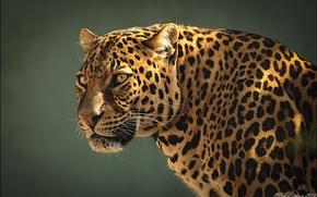 Picture face, predator, leopard, profile, leopard