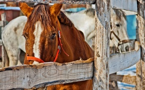 Picture animals, the fence, horses, horse, white, red, stable