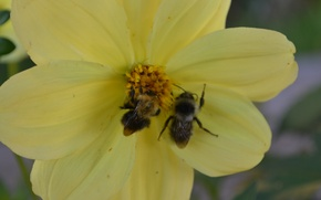 Picture flower, yellow, sleep, bees, August