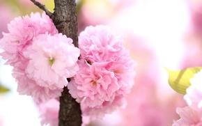 Picture branch, spring, petals, flowering, savd
