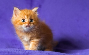 Picture kitty, red, blue-eyed, lilac background