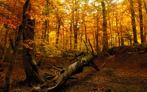 Picture autumn, forest, nature, tree