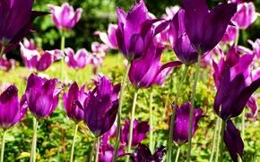 Picture Tulips, purple, tulips, purple