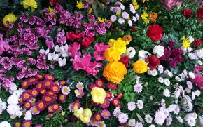 Picture flowers, flora, flowerbed