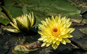 Picture water, yellow, Nymphaeum, water Lily