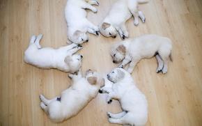 Picture Puppies, Round, Labradors, Sleep
