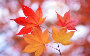 Wallpaper autumn, leaves, nature, branch, maple