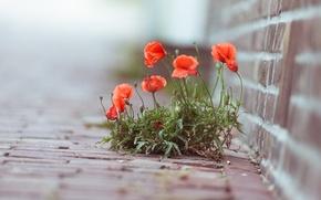 Wallpaper macro, flowers, photo, plant, Maki