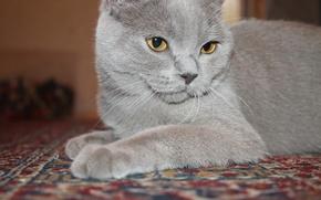 Picture cat, cat, british