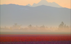 Picture field, mountains, fog, dawn, tulips, red, haze, the countryside, purple, plantation, Tulips, Washington State, Don …
