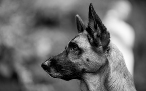 Picture look, dog, black and white, shepherd, German