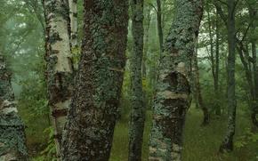 Wallpaper trees, forest, moss, birch