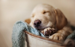 Picture dog, pet, sleeping puppy