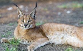 Picture steppe lynx, predator, face, Caracal, Caracal