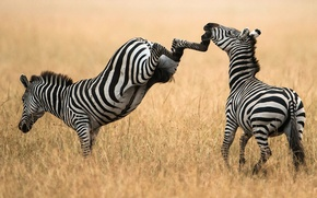 Picture PAIR, FIELD, ZEBRA, The SITUATION, BLOW, HOOVES