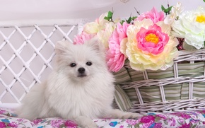 Picture white, flowers, basket, Spitz