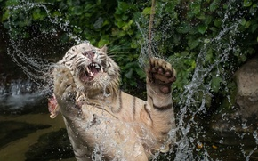 Picture face, water, squirt, jump, the game, predator, paws, bathing, mouth, fangs, white tiger, wild cat