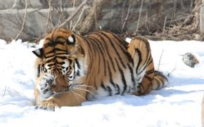 Picture cat, snow, tiger, Amur