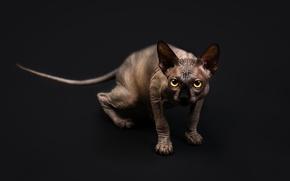 Picture cat, look, background, Sphinx