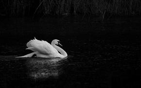 Picture lake, pond, white, Swan
