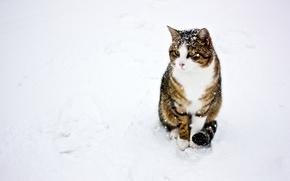 Picture winter, cat, cat, snow