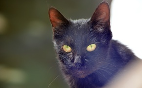 Picture black, green eyes, eyes, cat, looking, black cat, straight, starring, mustaches