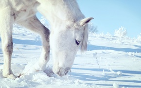 Picture white, sky, snow, hair, horse, yuki, free, head, ears, white horse, grazing