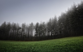 Wallpaper forest, grass, fog, lawn, spruce, hill, coniferous